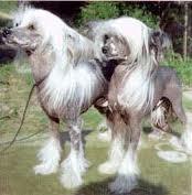 Голая китайская хохлатая собака с сильными заростами