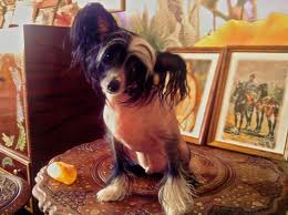 Китайские хохлатые - ревнивые собачки