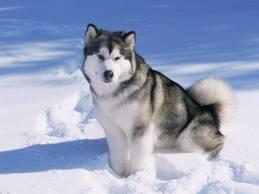Идеальная собака — маламут