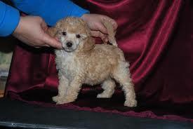 Той-пудель - маленькая собачка