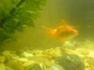 Вода в аквариуме мутнеет