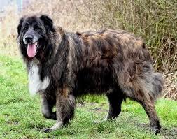 Горная собака Эстрела