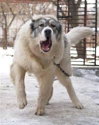 Почему пастушьи собаки белые?