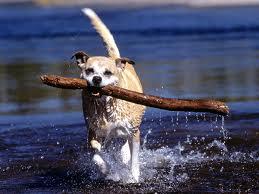 Приучение собаки к аппортировке