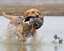 Охотничья собака: без воспитания нельзя