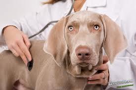 Заболевание печени у собак